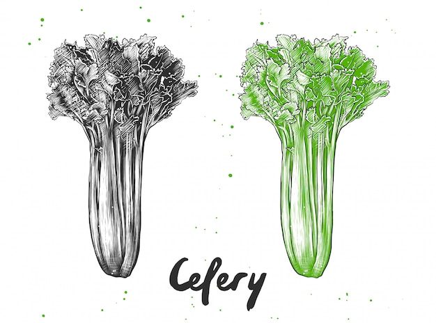 Hand drawn sketch of celery