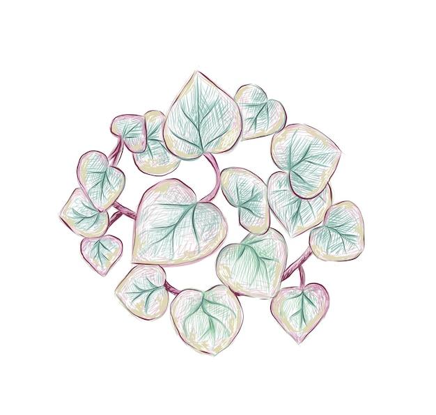 Hand drawn sketch of ceropegia woodii variegata succulent plant
