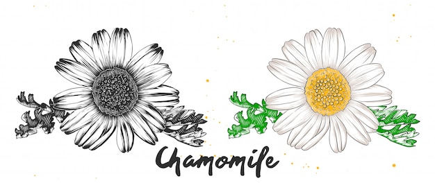 Hand drawn sketch of chamomile flower
