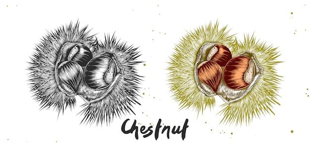 Hand drawn sketch of chestnut