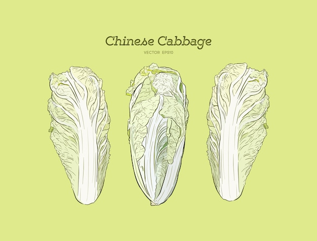 Hand drawn sketch chinese cabbages set.