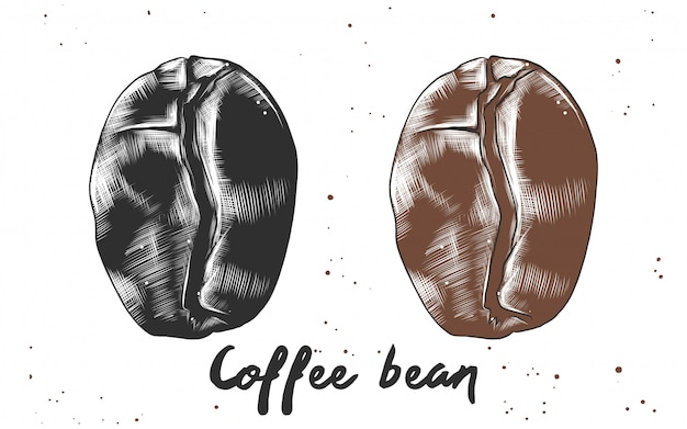 Hand drawn sketch of coffee bean