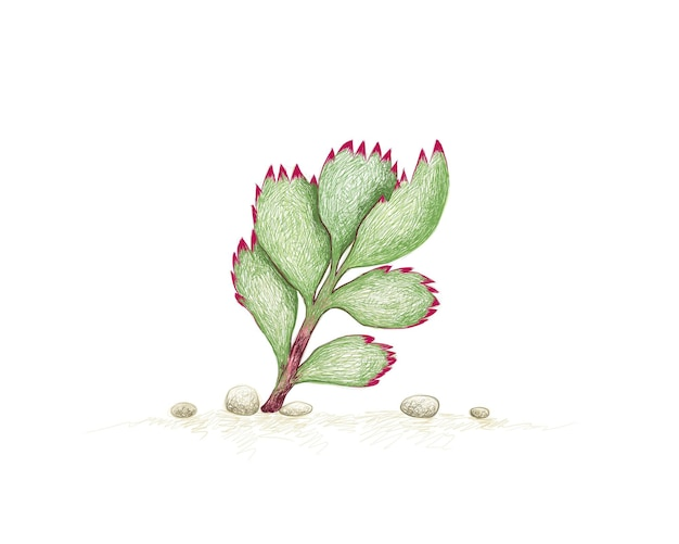 Hand drawn sketch of cotyledon tomentosa succulents plant