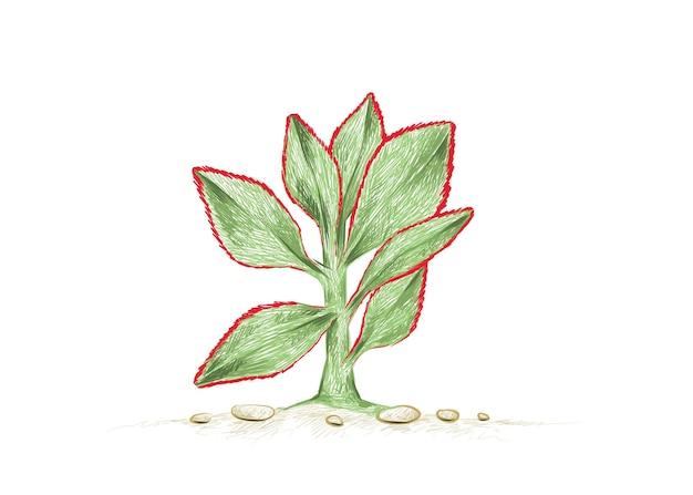 Hand drawn sketch of crassula arborescens undulatifolia succulent