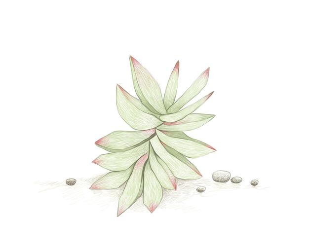 Hand drawn sketch of crassula capitella succulents plant