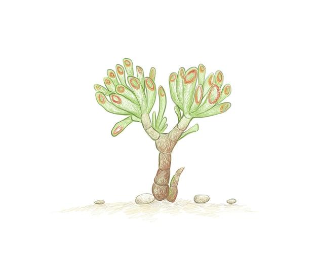 Hand drawn sketch of crassula ovata succulents plant