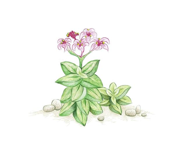 Hand drawn sketch of crassula springtime succulents plant