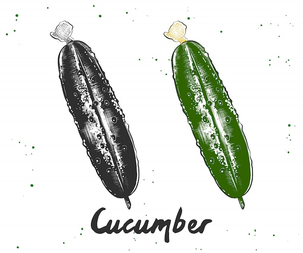 Hand drawn sketch of cucumber