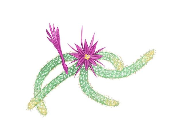 Hand drawn sketch of disocactus flagelliformis cactus