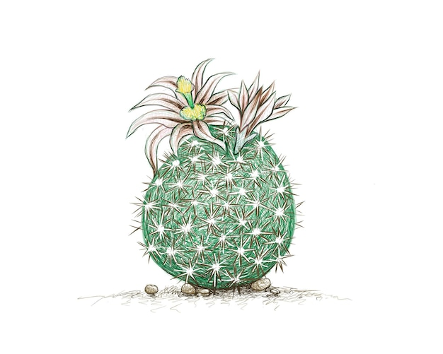 Hand drawn sketch of echinomastus cactus plant