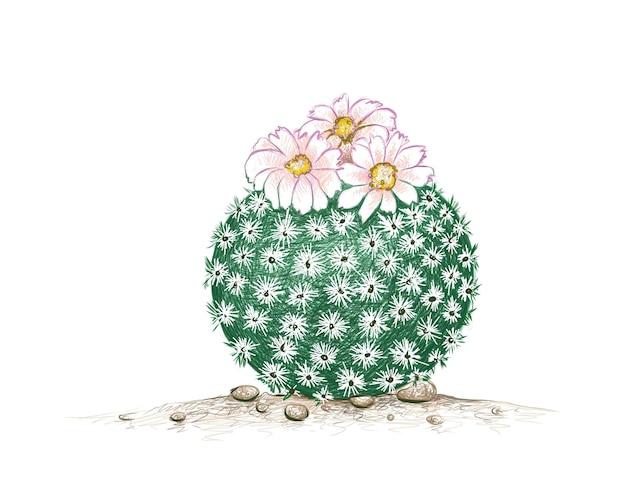 Hand drawn sketch of epithelantha micromeris cactus plant