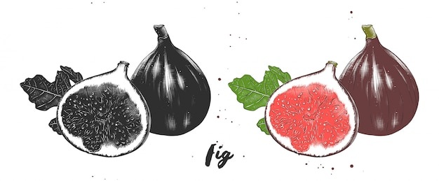 Hand drawn sketch of fresh figs
