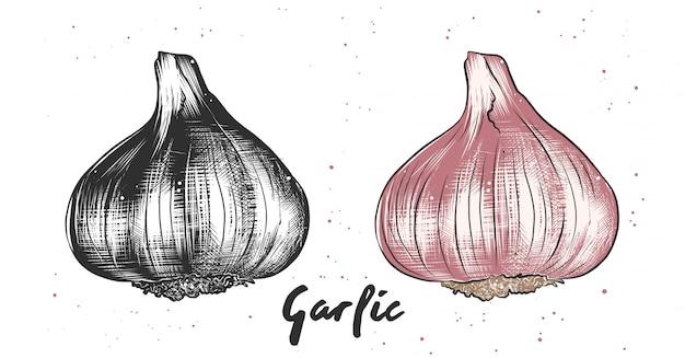 Hand drawn sketch of garlic