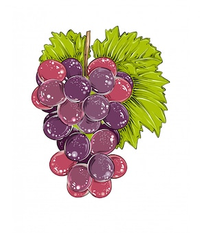 Hand drawn sketch of grapes in color, isolated .