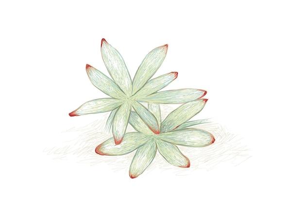 Hand drawn sketch of graptosedum or darley sunshine succulent