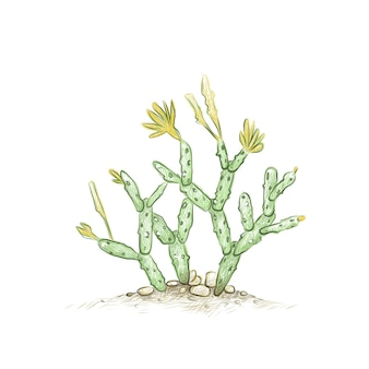 Hand drawn sketch of hatiora or easter cactus
