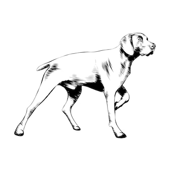 Hand drawn sketch of hunting dog in black