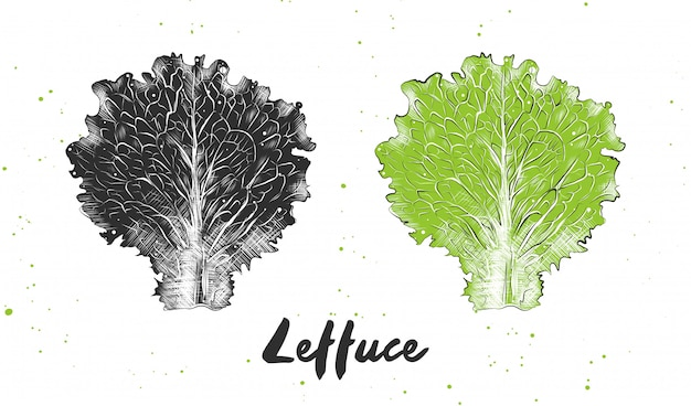 Hand drawn sketch of lettuce