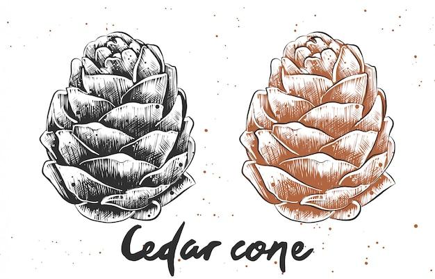 삼나무 콘의 손으로 그려진 된 스케치