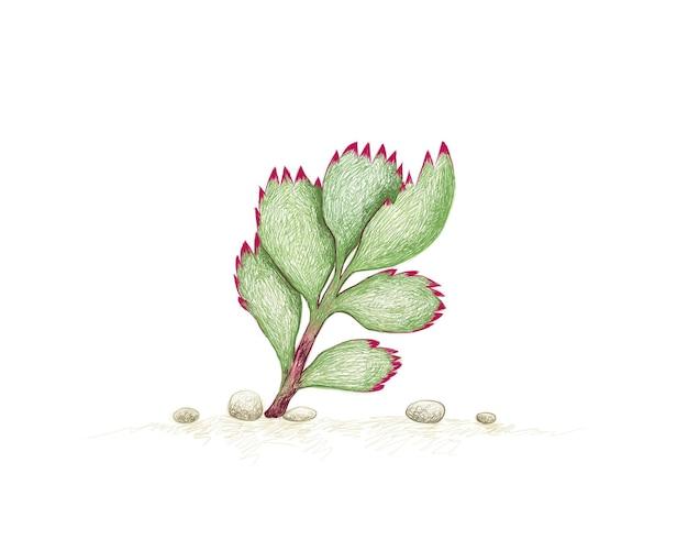 Рисованный эскиз растения семядоли tomentosa суккуленты