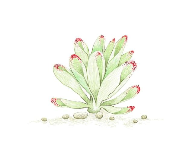Рисованный эскиз суккулентов crassula ovata