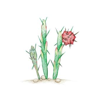 Harrisia 선인장 식물의 손으로 그린 스케치