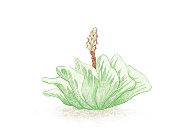 Ручной обращается эскиз суккулентов haworthia truncata