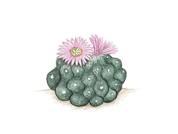 Lophophora 또는 peyote 선인장의 손으로 그린 스케치