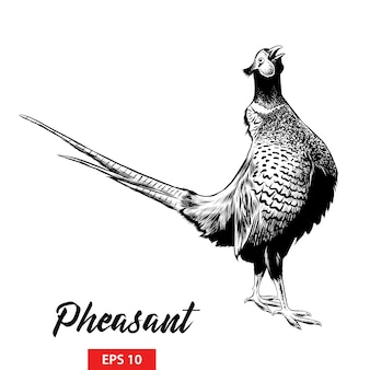 Ручной обращается эскиз фазана