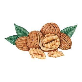 Рисованный эскиз грецких орехов
