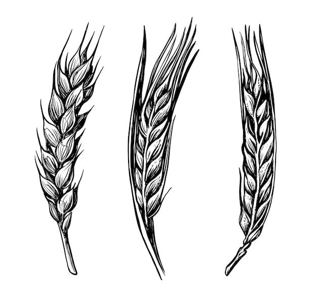 Ручной обращается эскиз пшеницы.