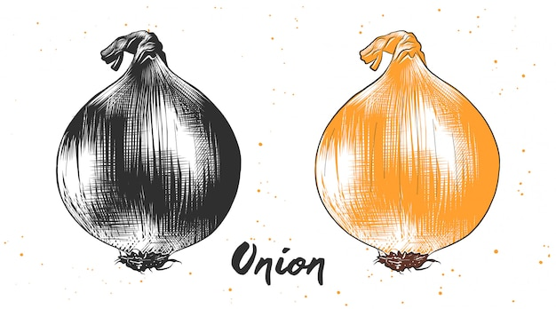Hand drawn sketch of onion