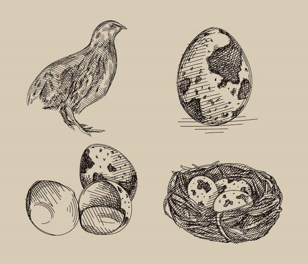 Hand-drawn sketch of quail set. the set consists of a quail, quail eggs and quail eggs in the nest