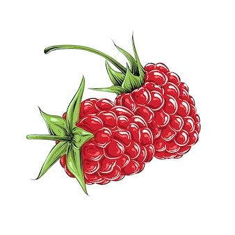 Hand drawn sketch of raspberry in color, isolated