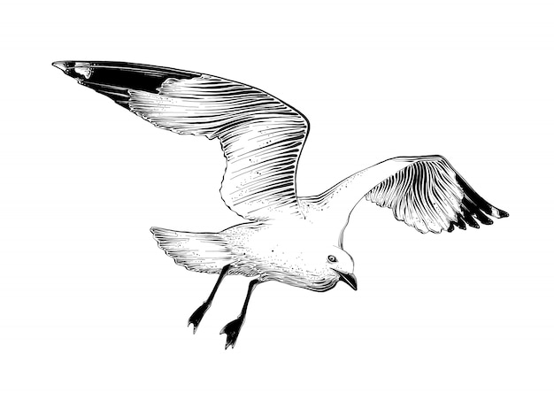 Hand drawn sketch of seagull in black color. isolated .