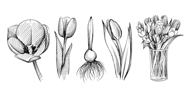 白い背景の上にチューリップの花の手描きスケッチセット。チューリップ球根。ガラスの花瓶のチューリップの花束