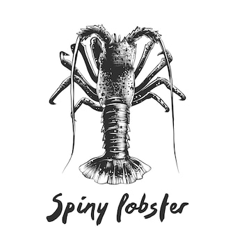 Hand drawn sketch of spiny lobster in monochrome