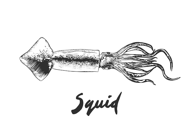Hand drawn sketch of squid in monochrome