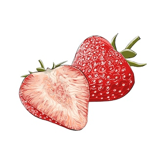Hand drawn sketch of strawberry in color, isolated. detailed vintage style drawing