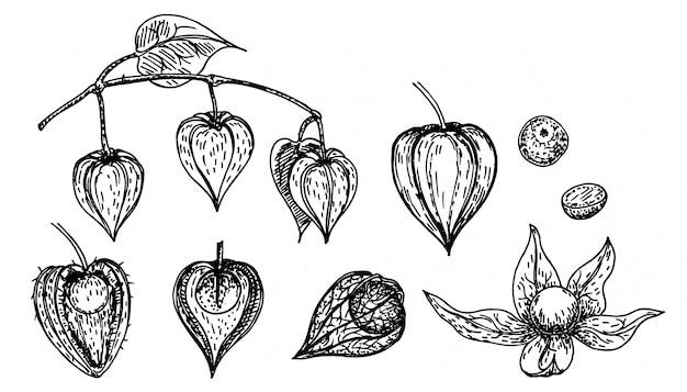 手描きスケッチスタイルホオズキセット。種子と葉を持つサイサリス。イラストをスケッチします。