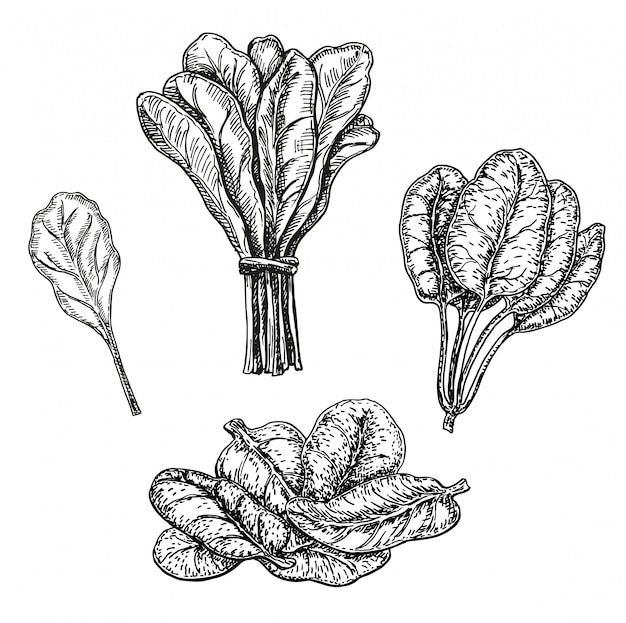 手描きスケッチ風ほうれん草セット。新鮮な農場の緑の葉のレトロなイラスト。白い背景の上のアートワーク。野菜刻印スタイル。詳細な植物図。農産物市場