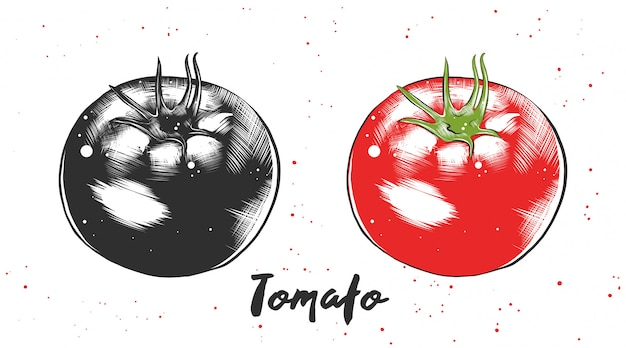 Hand drawn sketch of tomato