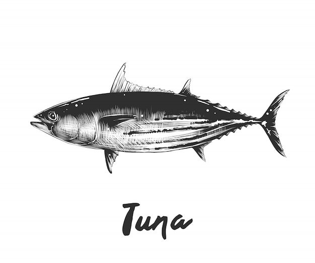 Hand drawn sketch of tuna fish