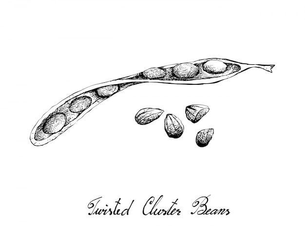 Hand drawn sketch of twisted cluster beans