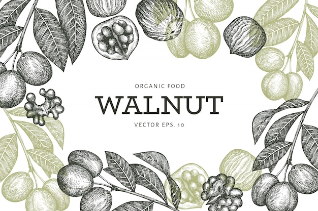 Ручной обращается эскиз шаблон оформления грецкого ореха. иллюстрация органические продукты питания. старинные ореховые иллюстрации. выгравированный стиль ботанический фон.