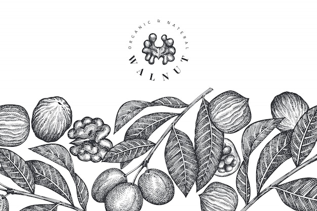 Ручной обращается эскиз грецкого ореха. органические продукты питания векторные иллюстрации. иллюстрация ретро орех. выгравированный стиль ботанический.