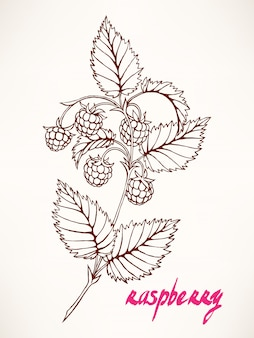 Hand-drawn sprig with sketch raspberry