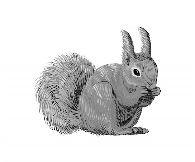 Hand drawn squirrel eating nut. retro realistic animal isolated.