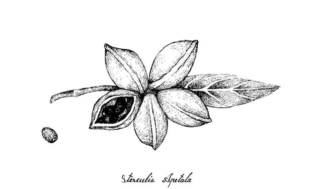 Hand drawn of sterculia apetala fruits on white background