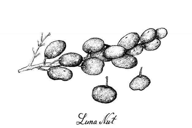 Hand drawn of sweet ripe luna nut fruits on white background